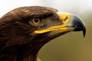 Steppe Eagle portrait. by quaddie