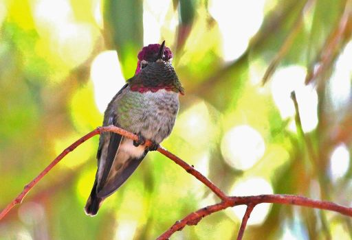 Anna's Hummingbird by Monkeystyle3000