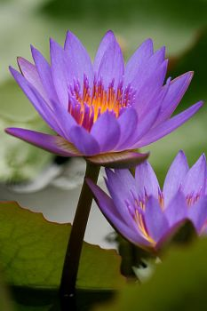 Water Lily Photo 4 by blookz