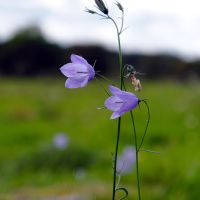Harebell #2 by perost