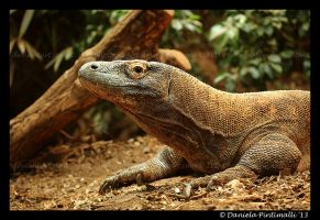 Komodo Dragon by TVD-Photography