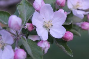Apple Blossoms V by onechance145