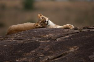 African Lion 105 by catman-suha