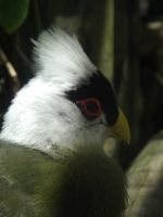 White-crested Turaco by Deede25