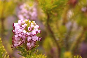 pink erica by cheah77