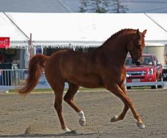 Chestnut Canter by peachesrox-stock