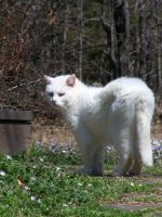 White Cat In Flowers12 by effing-stock