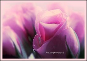 Roses are pink by Nataschaa