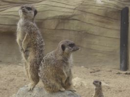 Meerkat Stock 8 by bubblewrap-pancakes