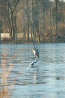 Great Blue Heron by EmberGryphon