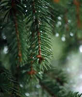 Pine by twisteDtenDerness