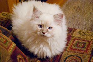 Loki, the Ragdoll kitten by ScatterheartDuet