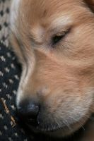 Jacy-Golden Retriever Puppy13 by sarabil1