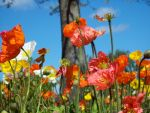 Field of Poppies by Applemac12
