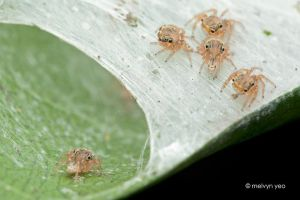 Spiderlings playing hide and seek by melvynyeo