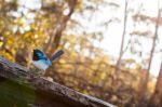 Fairy Wren by Charmed-Ravenclaw