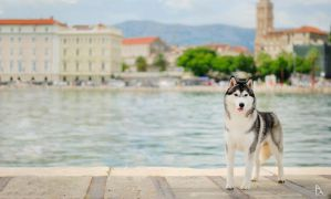 Chester - Siberian Husky by sibeworld