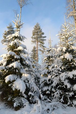 Wintery forest 2 unrestricted photo stock by MariaLoikkii