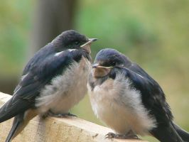 Swallow chicks II by dragonlare123