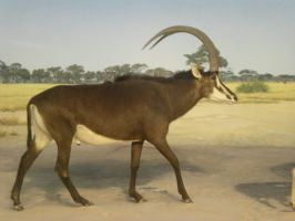 Sable Antelope by DrachenVarg-stock