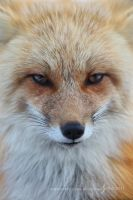 Stare of a Vixen by Nate-Zeman