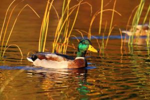 Golden hour duck by janernn