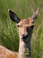 Red Deer Hind 04 - May 12 by mszafran