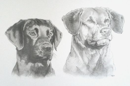 2 labradors by IK-Portraits