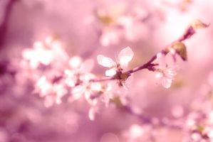 blossoming cherry 2 by hitforsa