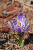 Crocus by LucieG-Stock