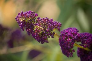 Little Purple Flowers by toshema