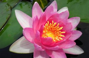 Pink Water Lily by ChicaDelMar