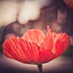 Poppy by malaugusto