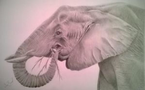 elephant drawing in graphite pencil by donnabe
