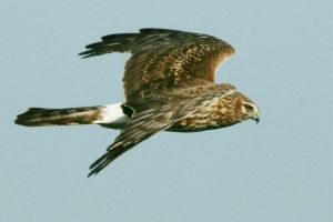 Northern Harrier Fly-by by Kippenwolf