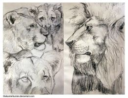 Lion Sketches by TheKunterbunter