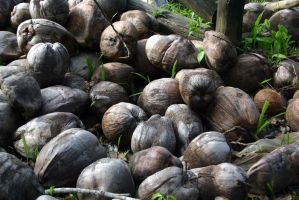 Lovely bunch o coconuts by Goody666
