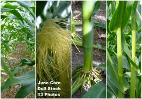 June Corn by dull-stock
