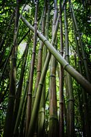 Bamboo Forest by Danwarner