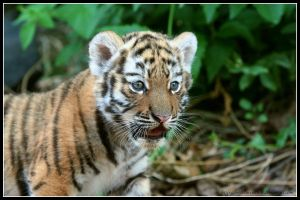 Tiger cub III by AF--Photography
