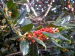 Holly Berries by wdcarty