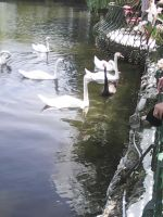 Swans again by WolfDemonG