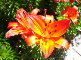 Tiger Lillies by xpurplexhazexchicax