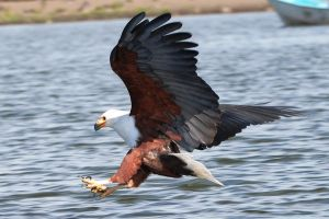 African fish eagle by Raven-Bones