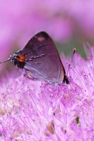 Gray Hairstreak by Enkased