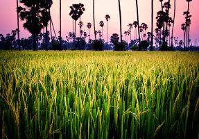 Rice Paddy (Revised II) by palmbook
