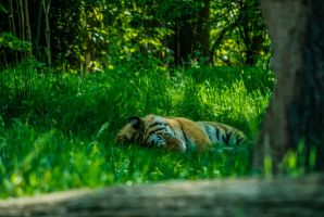 Sleepy Tiger by praline815
