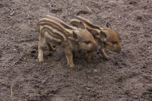 piglets by bookscorpion
