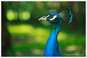 Peafowl by swiftach