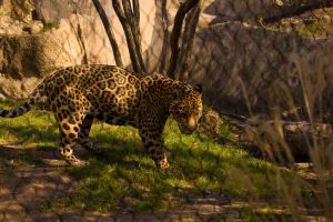 Male Jaguar 1 by AquaVixie